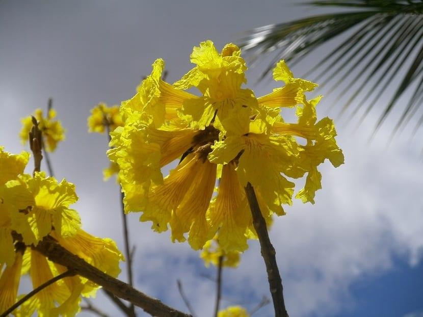 Flores del guayacán