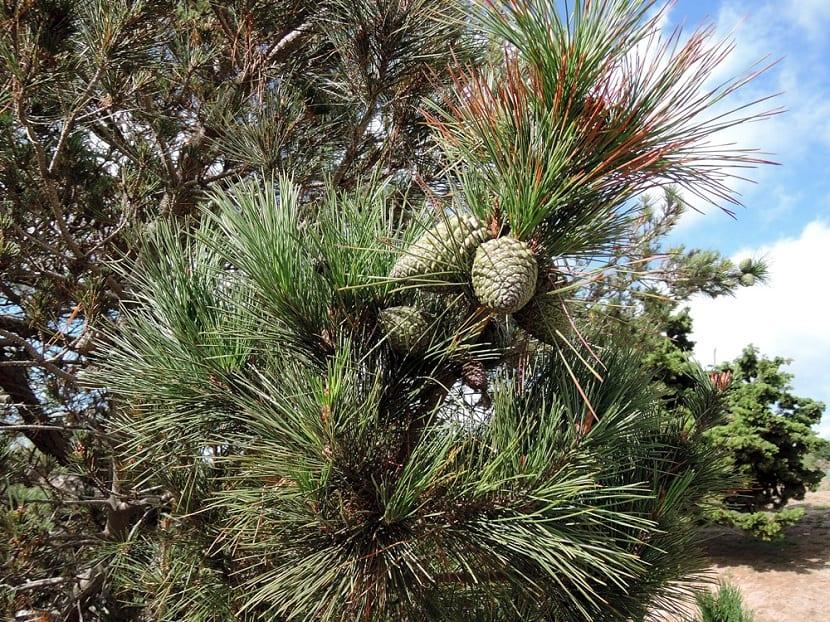 Hojas del Pinus radiata con su fruto