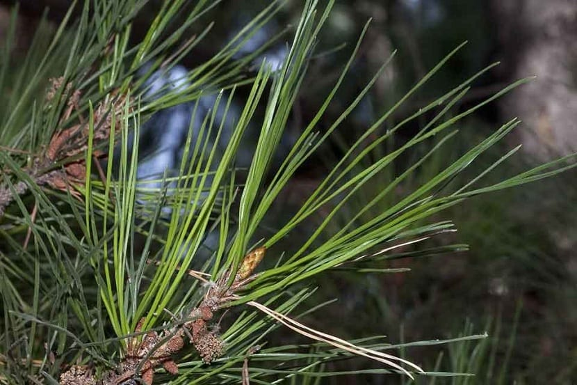 Hojas del Pinus radiata