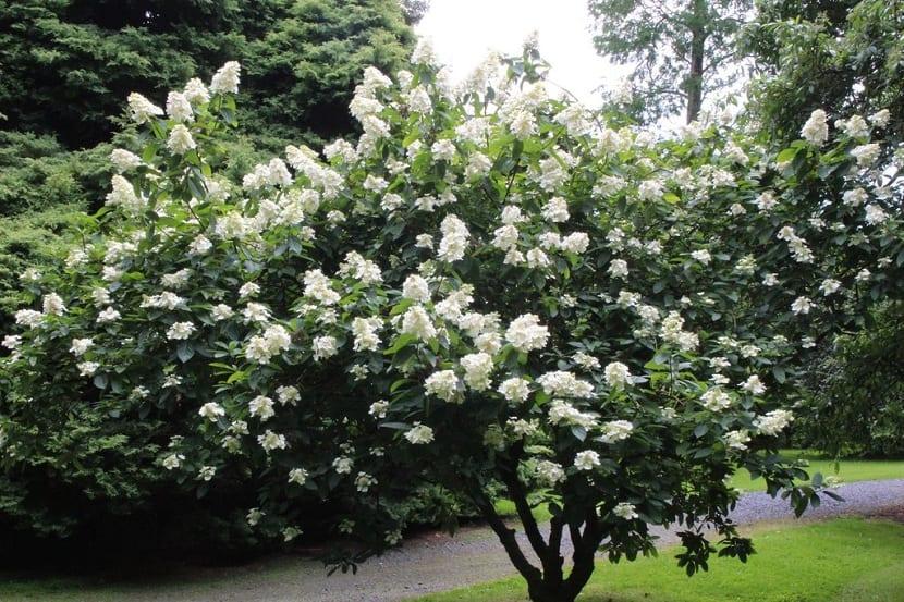 Hyrdargea grandiflora