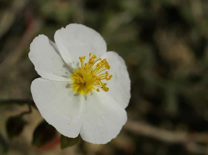 Infusiones con las flores del Cistus clusii
