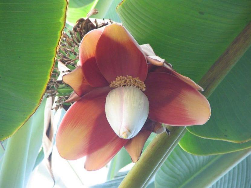 Las flores de la Musa balbisiana