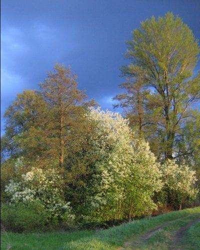 Vista del hábitat del Prunus padus