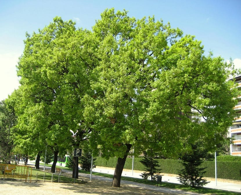 Quercus humilis entero
