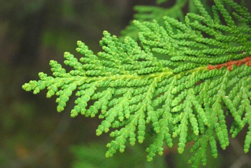 Las hojas de la Thuja occidentalis son perennes