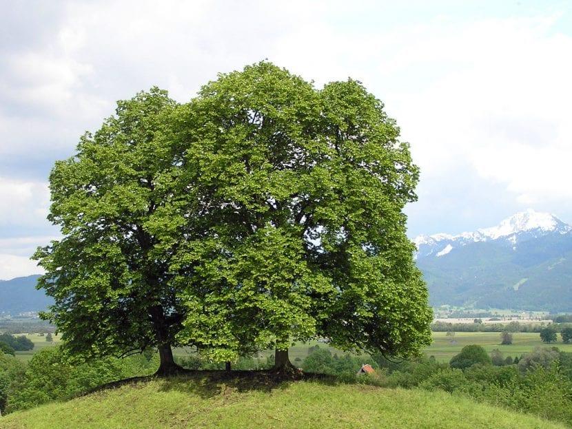 La Tilia cordata es un árbol grande