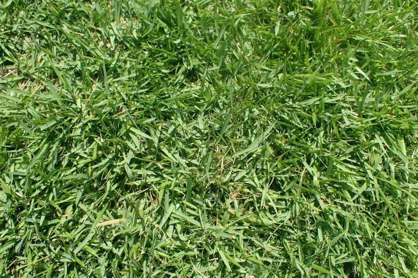 La Zoysia japonica es un buen césped