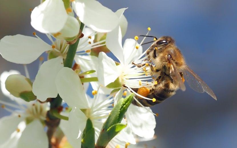 Las abejas son los insectos más importantes del mundo