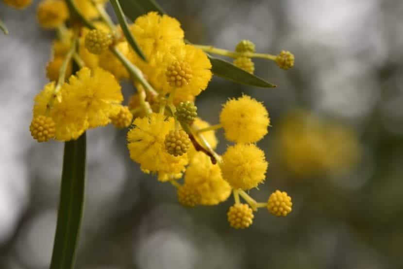 Las flores de la Acacia saligna son amarillas