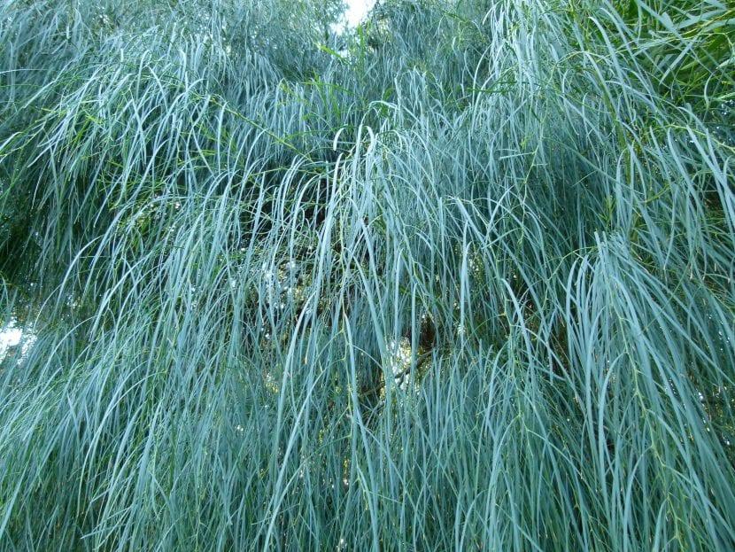 Las hojas de la Acacia saligna son perennes