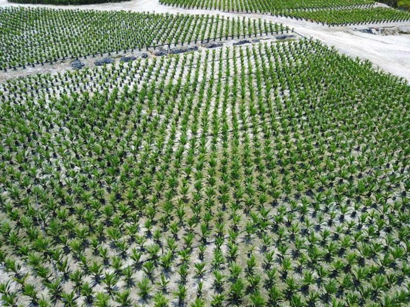 El aceite de palma es uno de los cultivos más dañinos para el planeta
