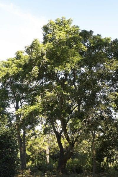 Vista del árbol de serpiente adulto