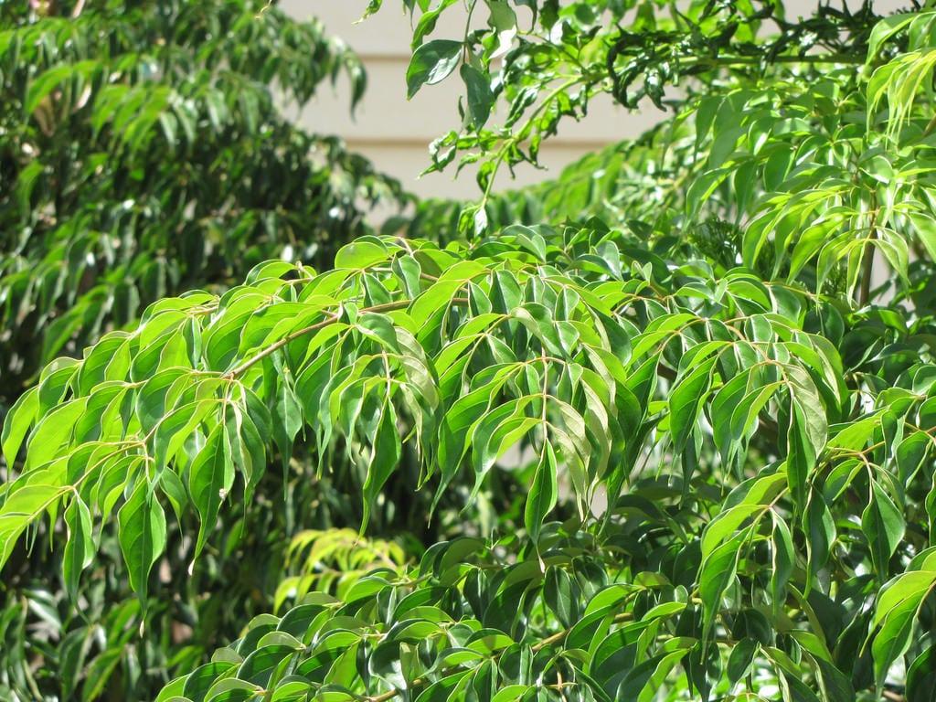 Vista de las hojas del árbol de serpiente