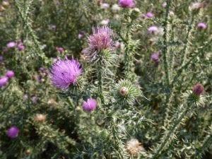 arbusto con pinchos y flor de color lila