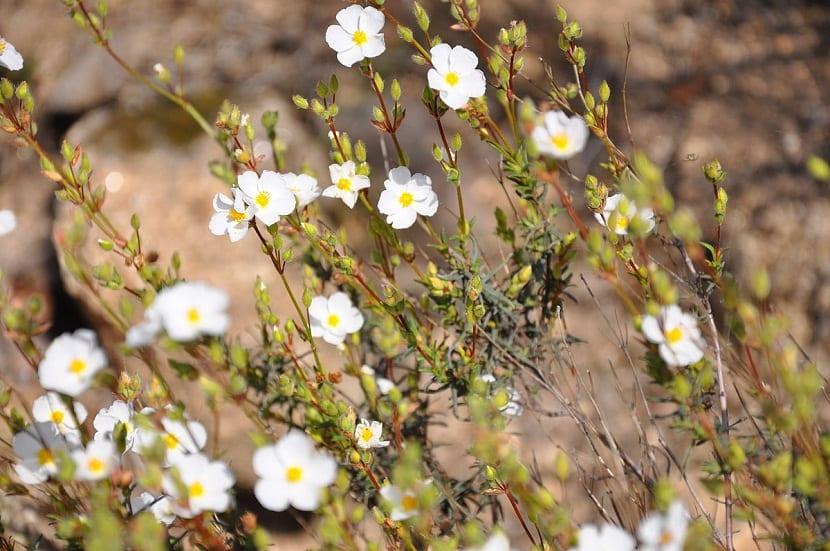 arbusto con ramas muy finas y con muchas flores de color blanco