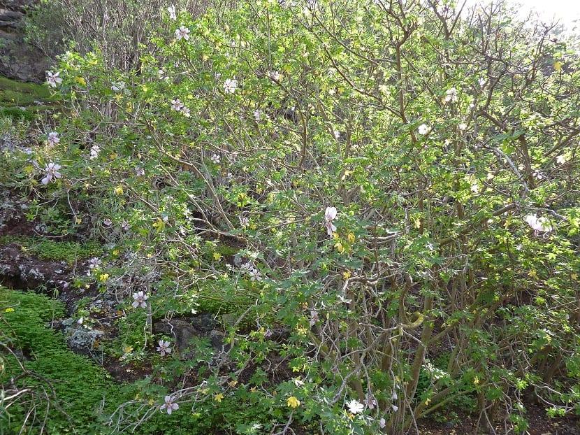 arbusto lleno de pequeñas flores de color rosa