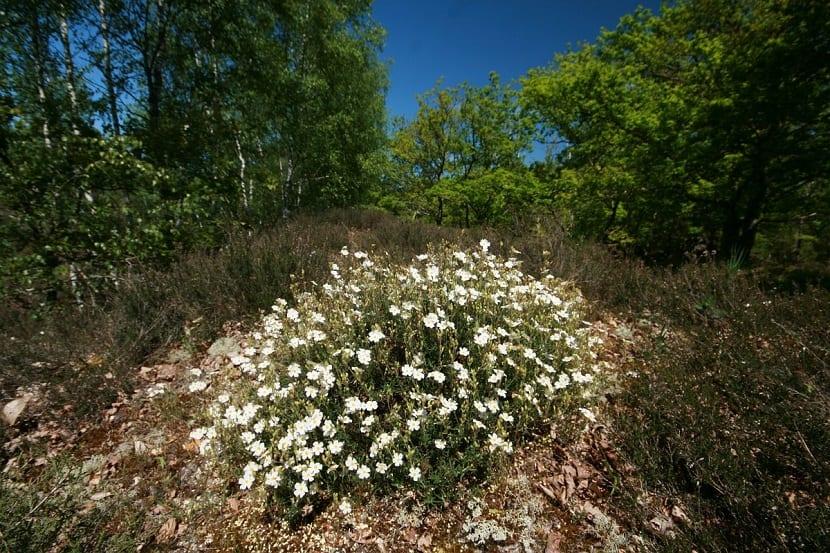 arbusto lleno de pequenas flores de color blanco