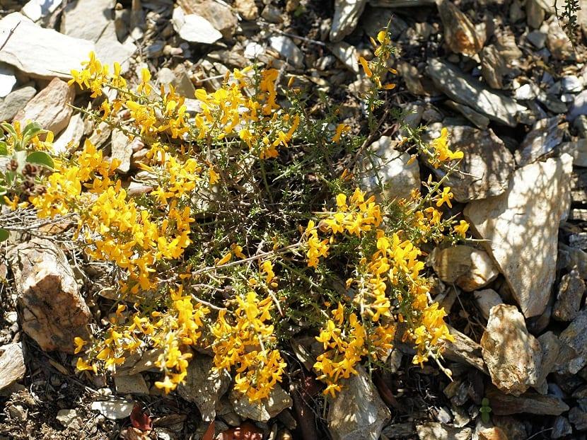 arbusto que sale de unas piedras y de color amarillo
