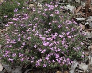 arbusto redondo lleno de florecillas