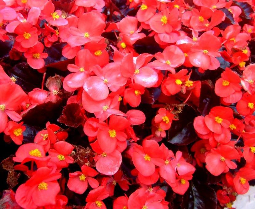 La Begonia semperflorens es una planta fácil de cuidar