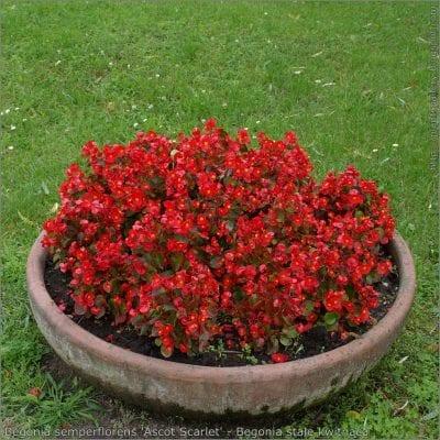 La Begonia semperflorens es una planta muy bonita