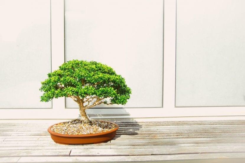 Los bonsáis son plantas muy trabajadas