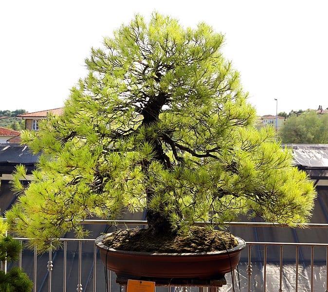El chokkan es un estilo de bonsái muy fácil