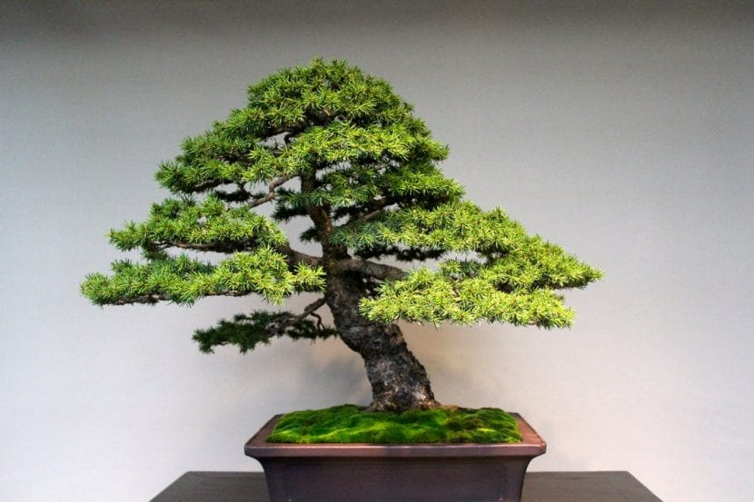 Los kumono son bonsáis de cierto tamaño