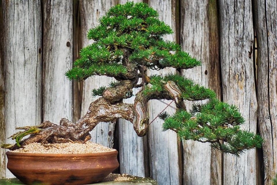 Vista de un bonsái de pino