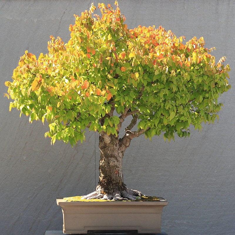 Vista de un bonsái en escobra