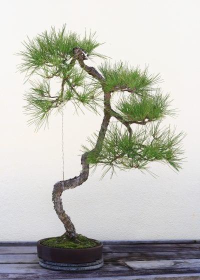 Vista de un bonsái con estilo litewrati