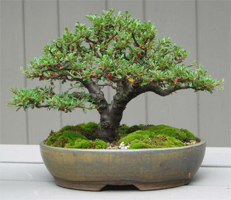 Los shohin son bonsáis de un tamaño mediano