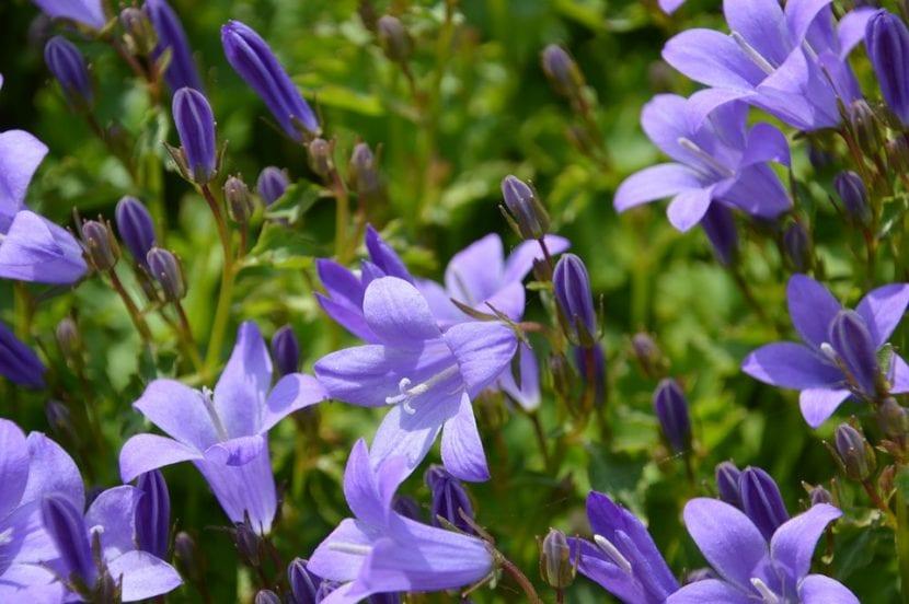 La Campanula es una planta herbácea
