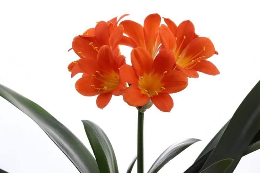 La Clivia es una planta bulbosa