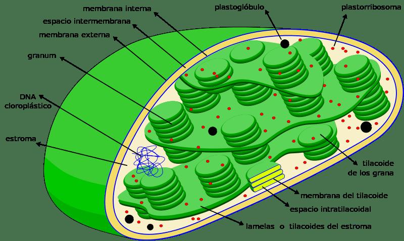 Imagen de un cloroplasto