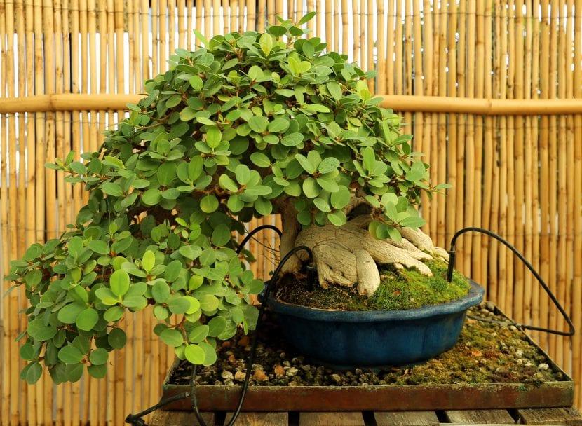 Un bonsái con estilo de semi cascada