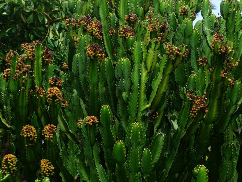 Euphorbia trigona en flor