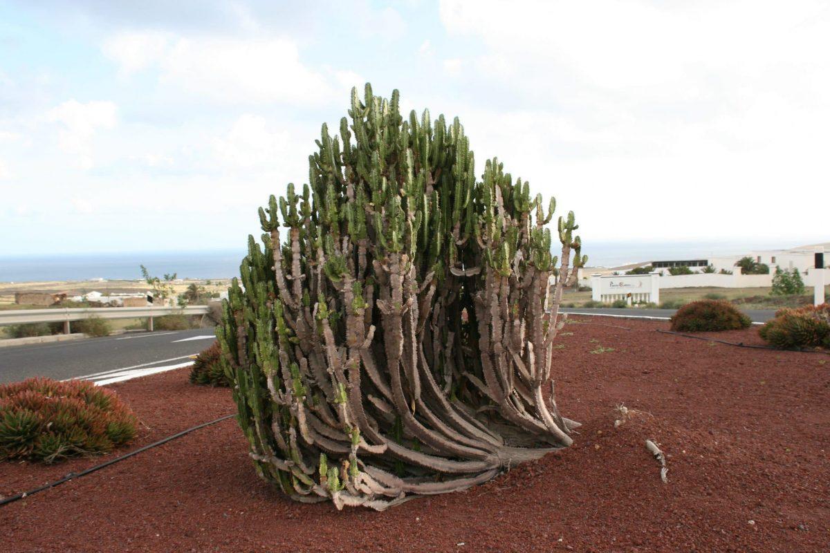 Vista de la Euphorbia trigona