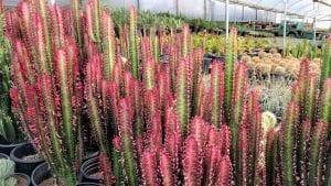 Vista de la Euphorbia trigona 'Rubra'