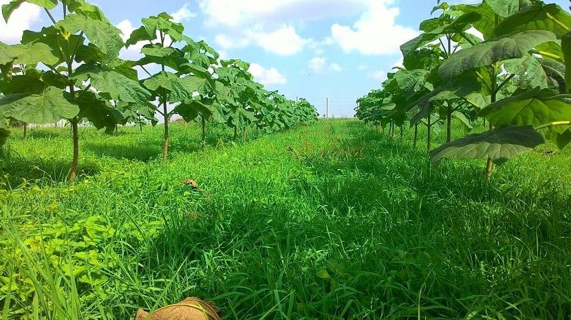 fila de pequeños arboles plantados en el campo