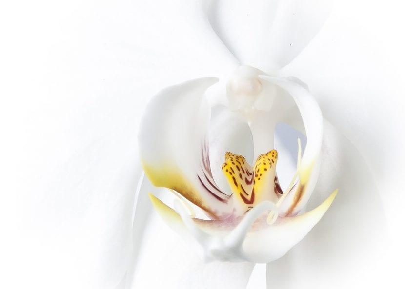 La flor de la orquídea blanca es muy bonita