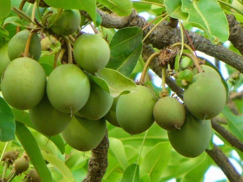 frutos verdes colgando de un arbol llamado karite