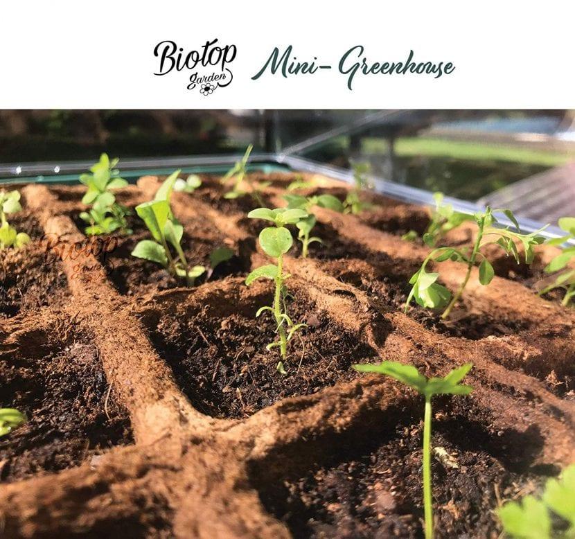 Las semillas germinan bien en un germinador