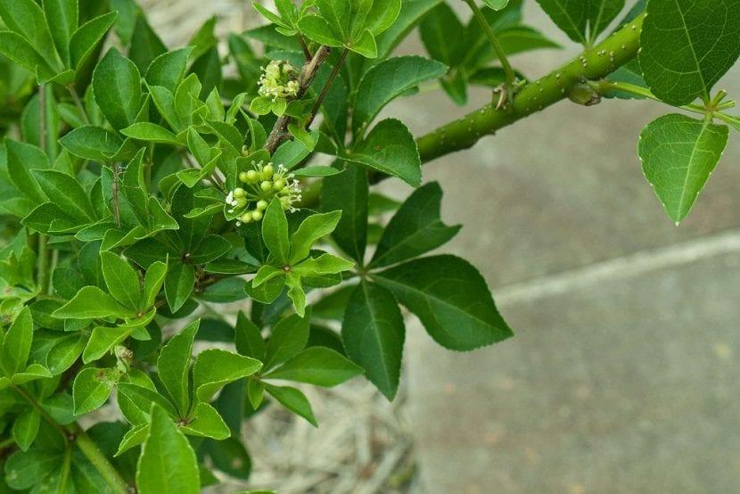 Las hojas del ginseng siberiano son verdes