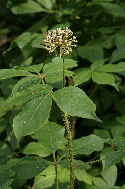 El ginseng siberiano es una planta decorativa