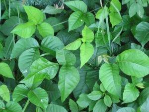 La planta hiedra venenosa es perenne