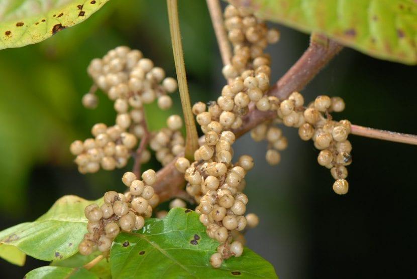 Los frutos de la hiedra venenosa son redondos