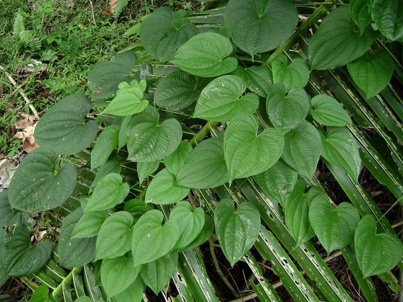 hojas de la planta name de agua o dioscorea alata