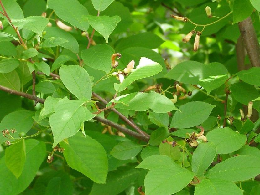 Las hojas del Prunus padus son caducas