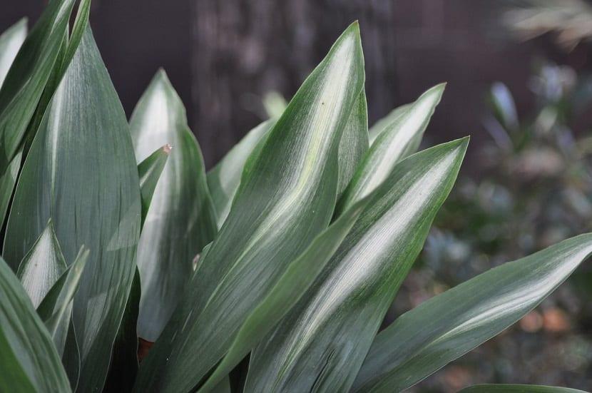 hojas que acaban en punta de color verde